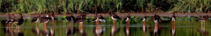 Cigogne noire  - Bernard Brunet
