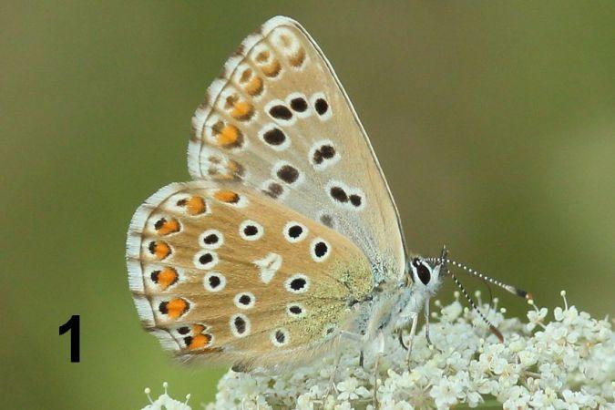Argus (Azuré) bleu céleste  - Bernard Duprez