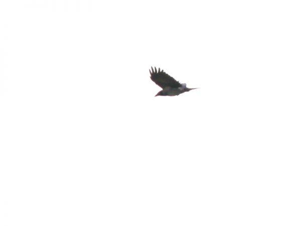 Hybride Corneille noire x mantelée  - Sylvain Houpert