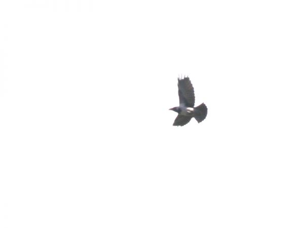 Corneille noire x mantelée hybride  - Sylvain Houpert