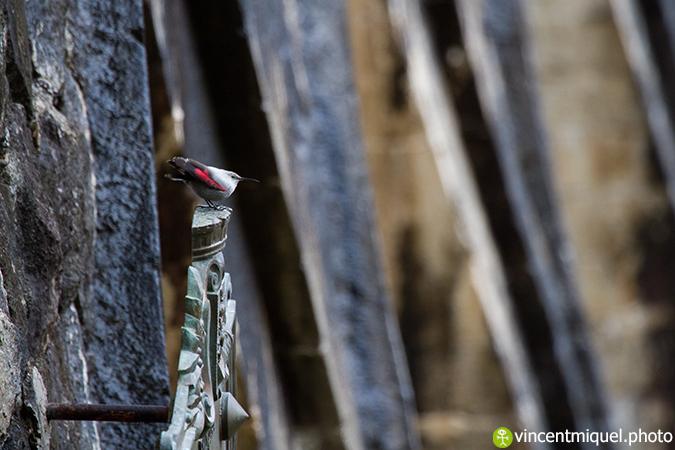 Tichodrome échelette  - Vincent Miquel