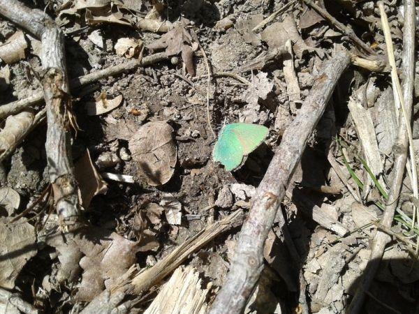 Argus vert (Thècle de la ronce)  - Bruno Raffin