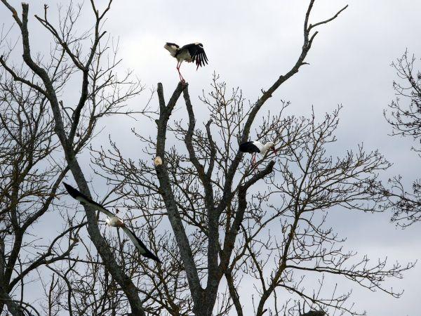 Cigogne blanche  - Gilles Guyonnet