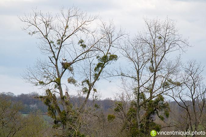 Cigogne blanche  - Vincent Miquel