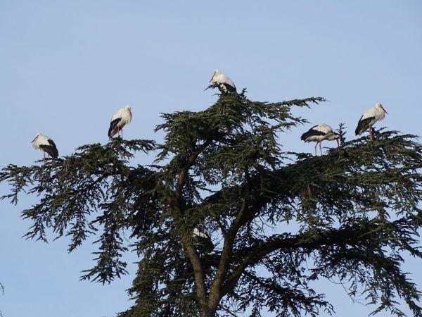 Cigogne blanche  - Lydie et Pascal Dubois