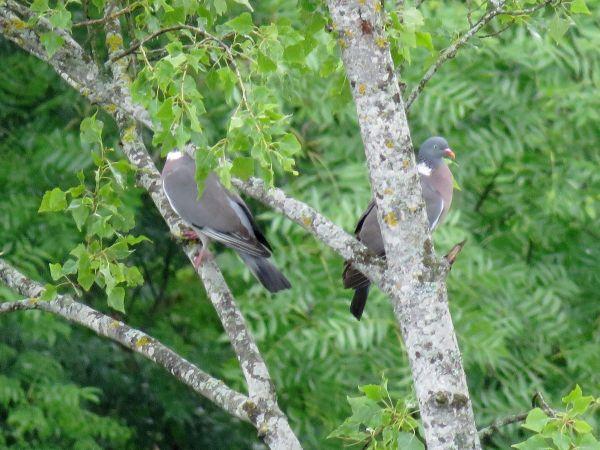 Pigeon ramier  - Josy Mathieu
