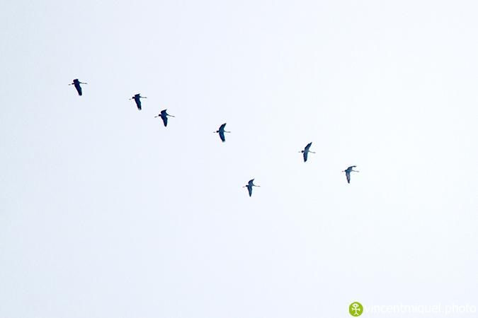 Grue cendrée  - Vincent Miquel