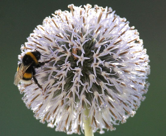 Groupe Bombus terrestris spp.  - Vincent Brouallier