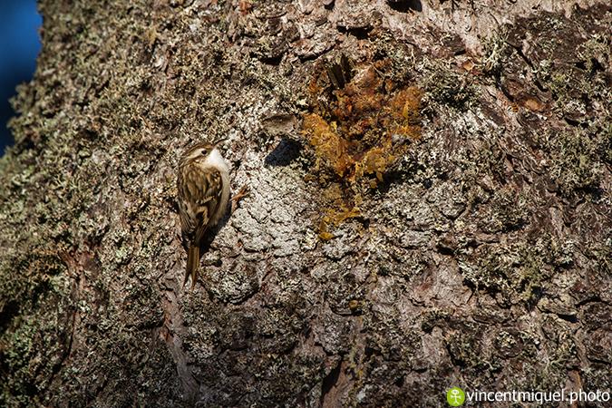 Grimpereau des bois  - Vincent Miquel