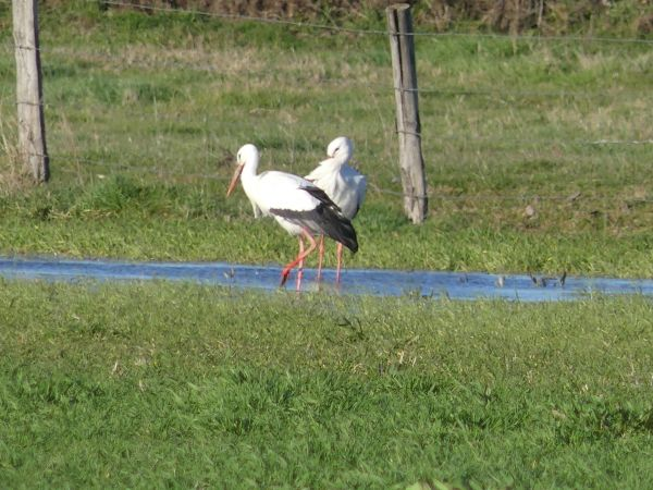 Cigogne blanche  - Estelle Pardon