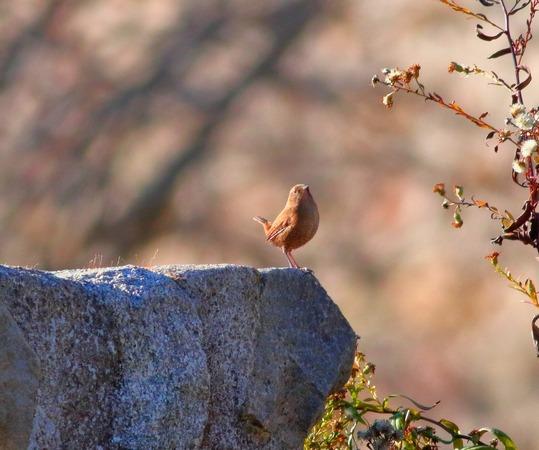 Troglodyte mignon  - Maryse Hermelin