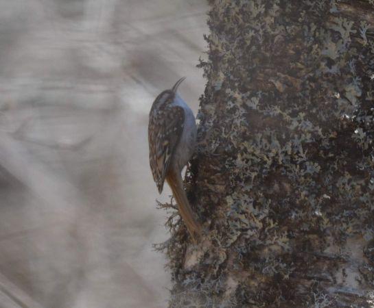 Grimpereau des bois  - Boris Juillard