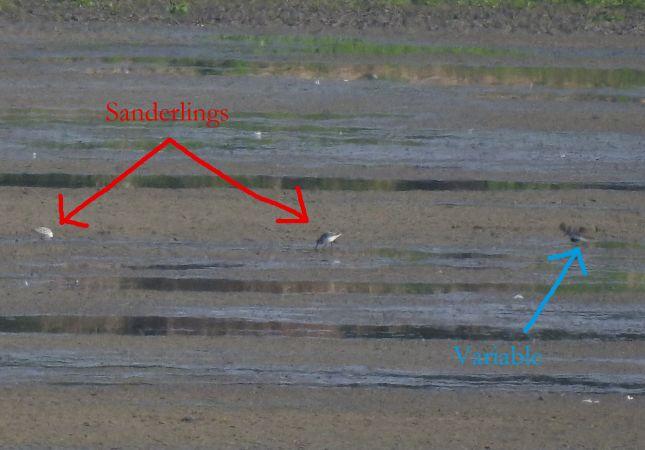 Bécasseau sanderling  - Loup Noally