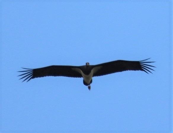 Cigogne noire  - Vincent Brouallier