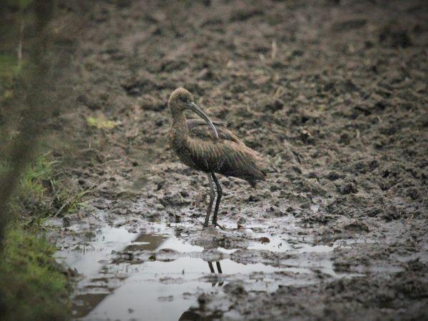Ibis falcinelle  - Arnaud Sponga