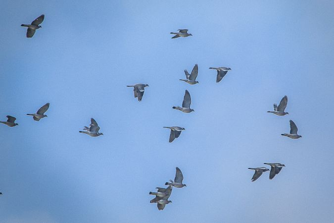 Pigeon ramier  - Alain Beylet