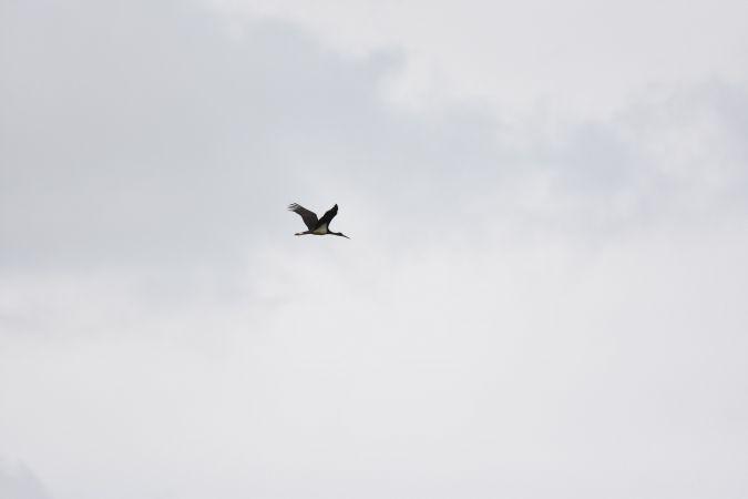 Cigogne noire  - Anaïs Veret