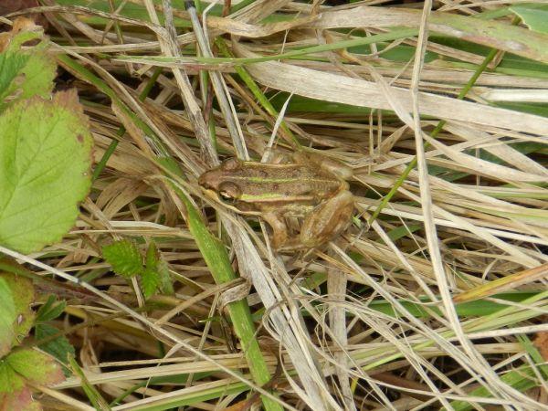Grenouille verte indéterminée (Pelophylax sp.)  - Alain Lehalle