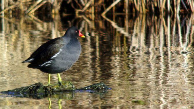 Gallinule poule-d'eau  - Jean-Paul Lang