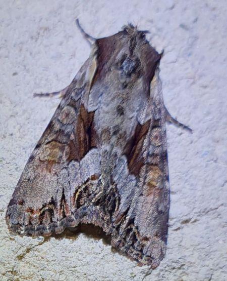 Lacanobia w-latinum  - Alain Lehalle