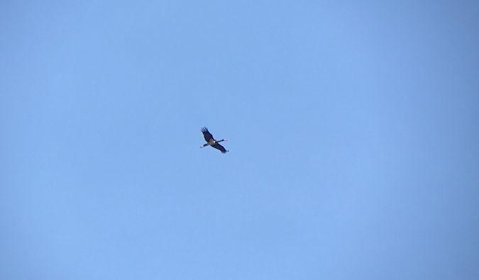 Cigogne noire  - Luca Fetique