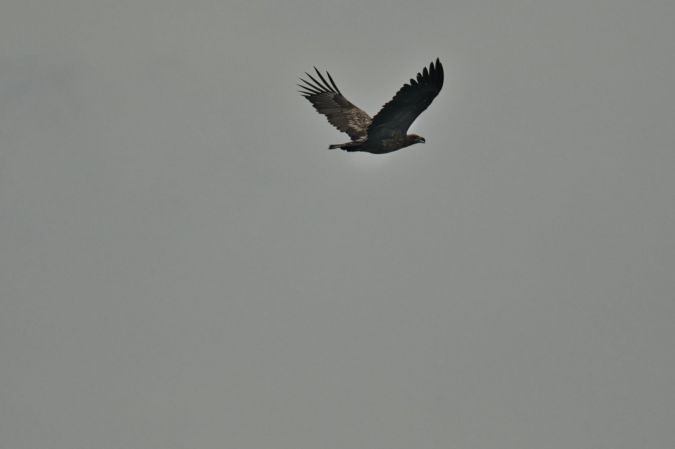 Pygargue à queue blanche  - Angele Marani
