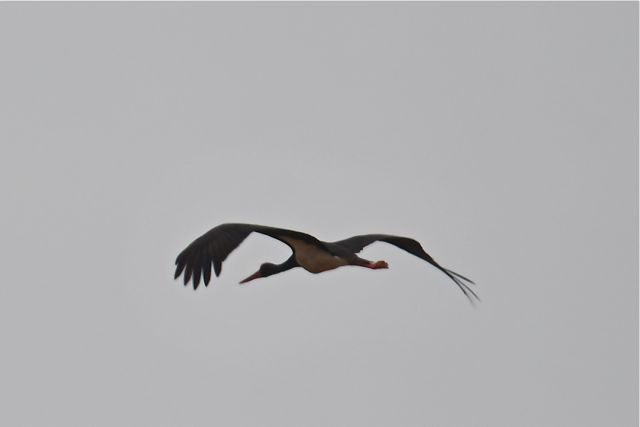 Cigogne noire  - François-Michel Huguet