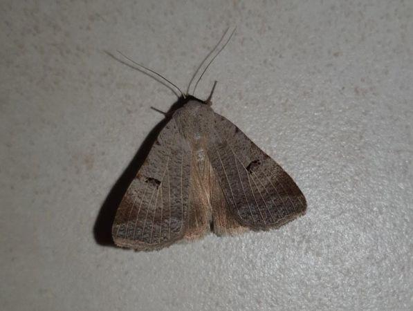 Lygephila craccae  - Nicolas Patier