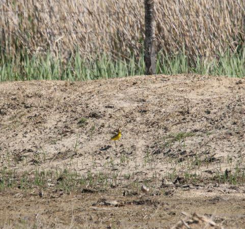 Bergeronnette flavéole (M.f.flavissima)  - Charles Hopper(LPO Aude)