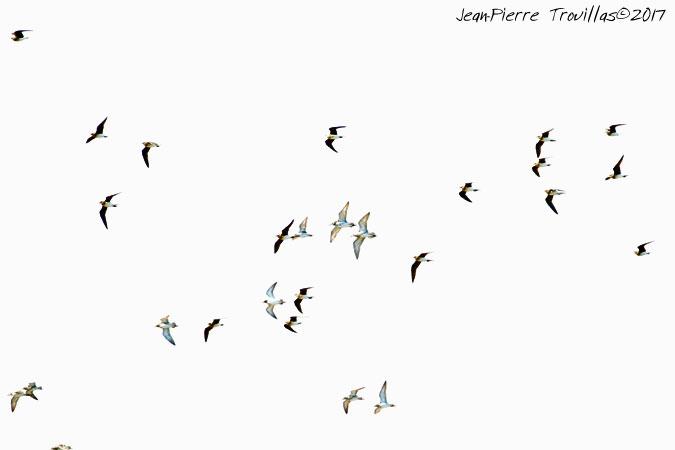 Glaréole à collier  - Jean-Pierre Trouillas(COGard)