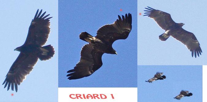 Aigle criard ou hybride pomarin x criard  - Jean-Yves Guillet