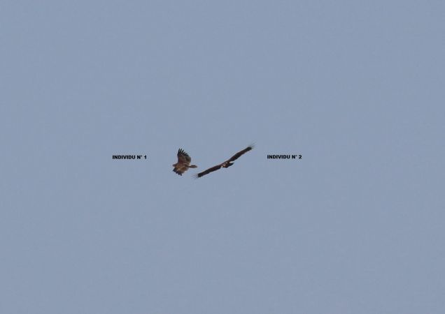 Aigle pomarin ou criard  - Simon Milliet