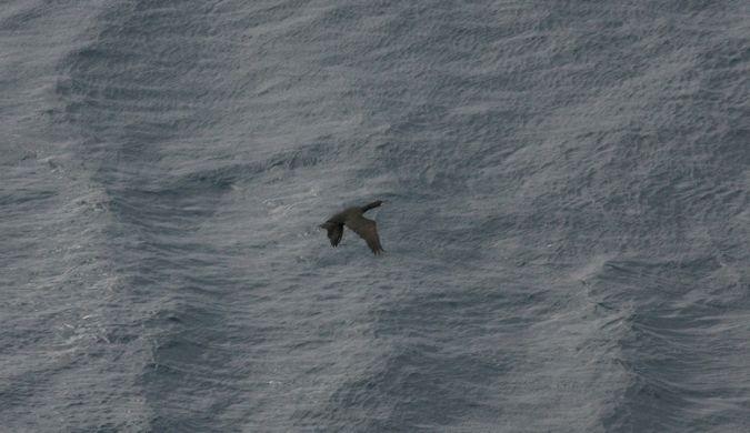 Cormoran huppé de Méditerranée  - Armel Tremion