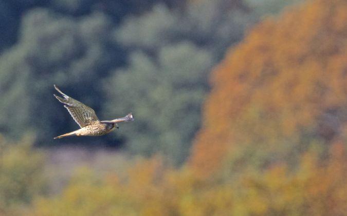 Faucon crécerelle  - Francis Burst(COGard)