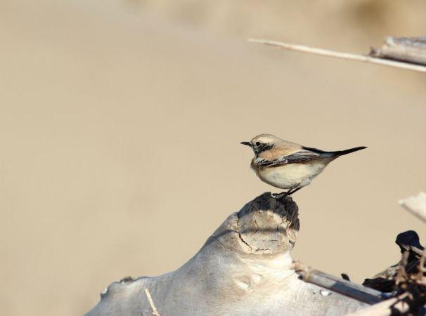 Traquet du désert  - Anthony Chaillou(GOR)