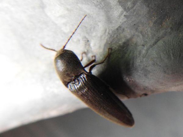 Coleoptera sp.  - François Lavergne