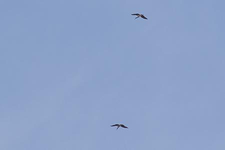 Cigogne noire  - Paul-Elie Jay
