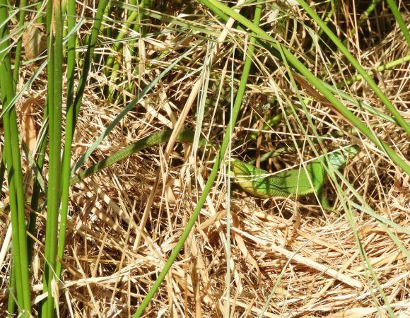 Lézard à deux raies (L. vert occidental)  - Philippe Lenoir