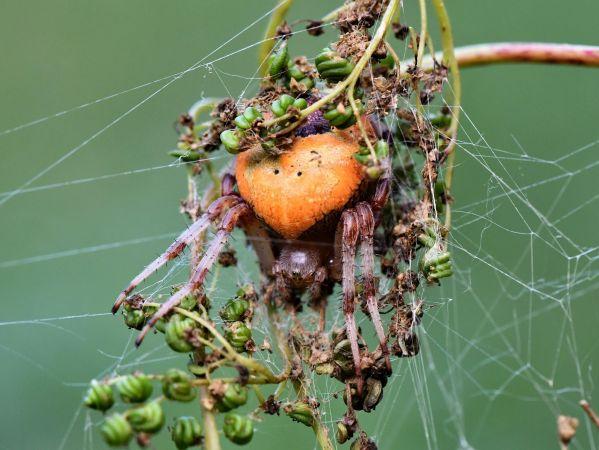Araneus marmoreus  - Dominique Bugaud(ALEPE)