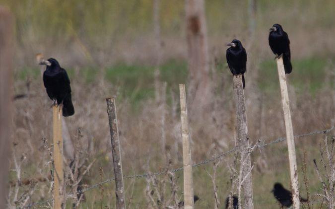Corbeau freux  - Francis Burst(COGard)