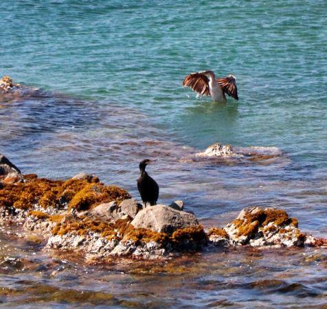 Cormoran huppé de Méditerranée