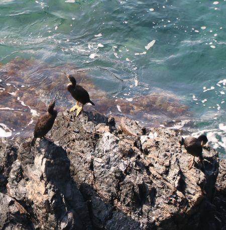 Cormoran huppé de Méditerranée  - Isabel Martinez-Arrabal