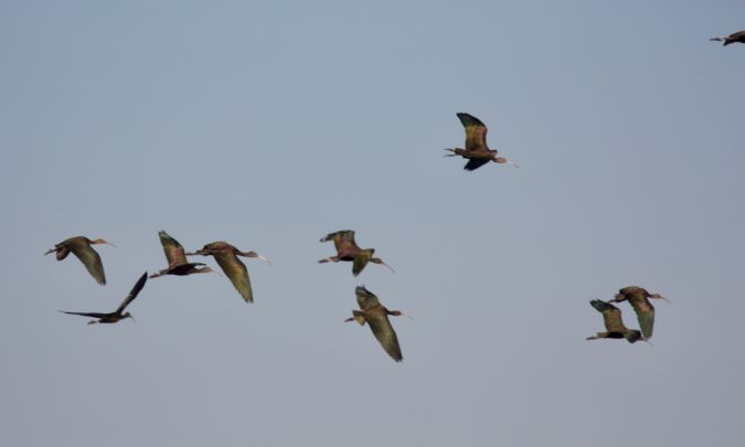 Ibis falcinelle  - Francis Burst(COGard)