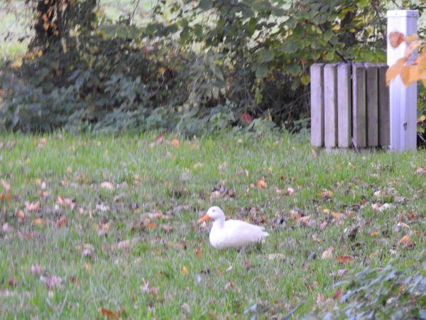 Canard domestique (origine non naturelle)  - Emmanuel Noyer