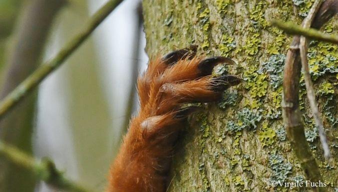 Ecureuil roux  - Virgile Fuchs