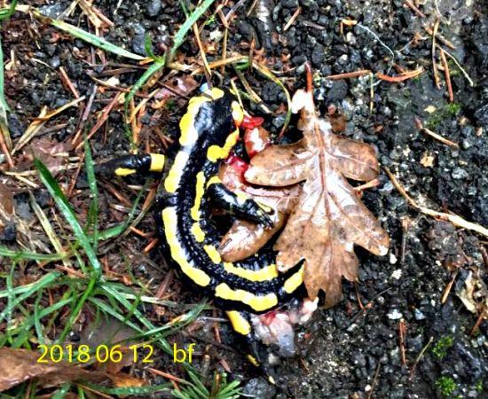 Salamandre tachetée  - Bruno Foulard