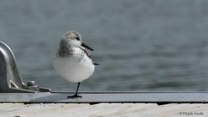 Bécasseau sanderling  - Virgile Fuchs