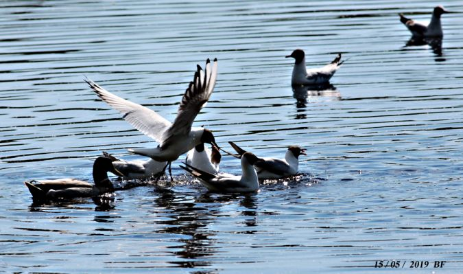 Mouette rieuse  - Bruno Foulard