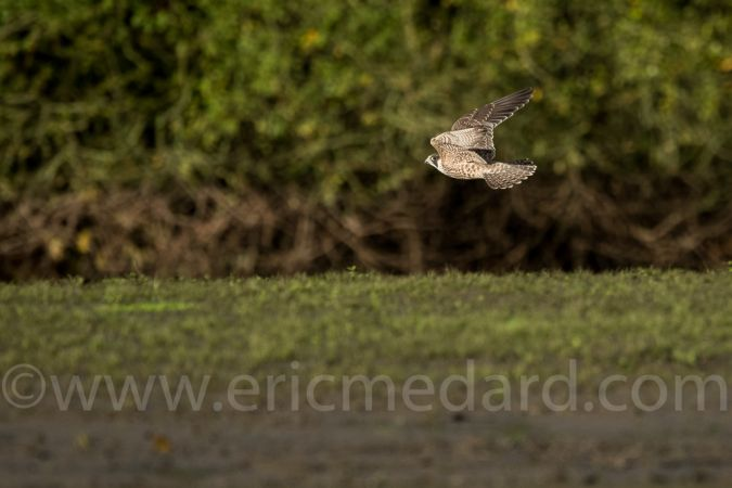 Faucon pèlerin  - Eric Medard