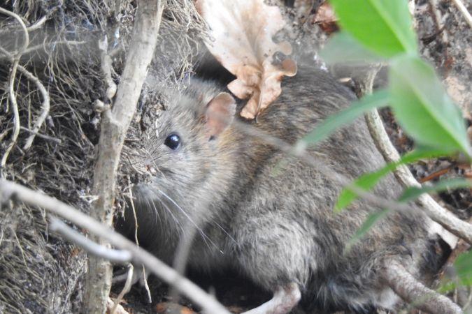 Rat surmulot  - Emmanuel Noyer